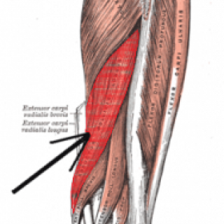muscles - muscles - toxinmed, Sphenoid